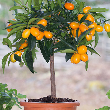 Nagami_Sour_Kumquat_Tree_Drop_Shipper_Star_Nursery_Size_1_Gallon_Age_1_Year