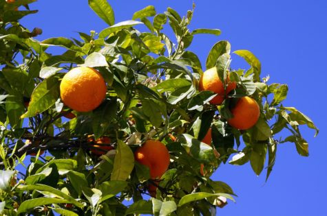 How To Grow Productive Citrus Trees
