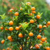 Brown Select Satsuma Tree 03