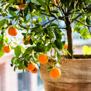Dwarf Brown Select Satsuma Tree 06