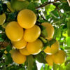 Dwarf Rio Red Grapefruit Tree 04