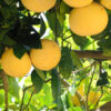 Dwarf Rio Red Grapefruit Tree 06