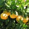 Dwarf Ruby Red Grapefruit Tree 02