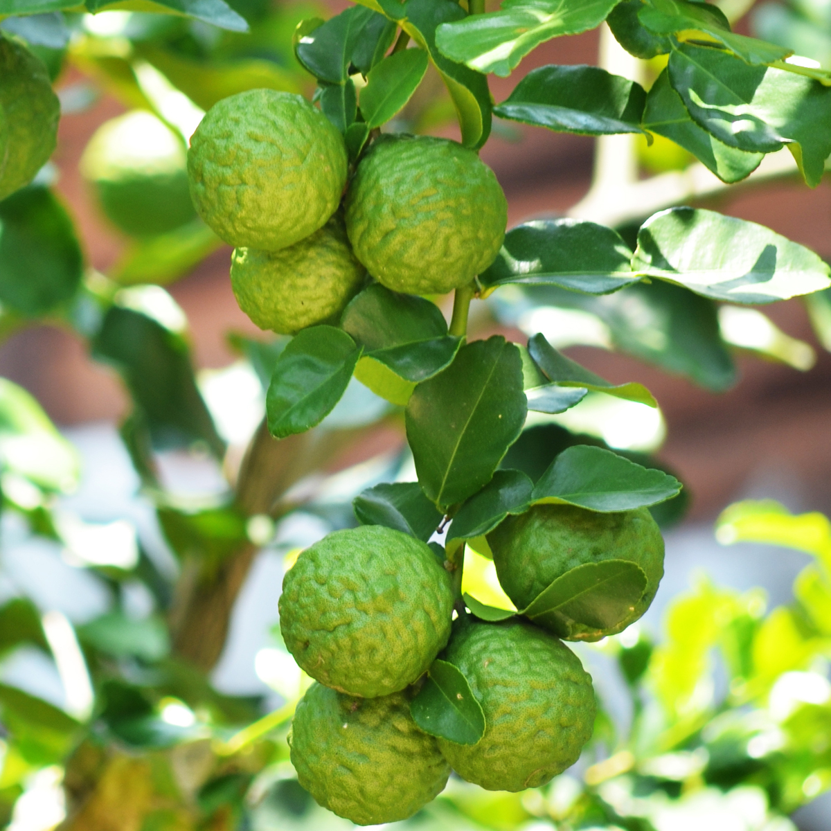 Kaffir_Lime_Tree_Drop_Shipper_Four_Winds_Size_1_Gallon_Age_1_Year