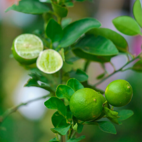 Key Lime Tree 03