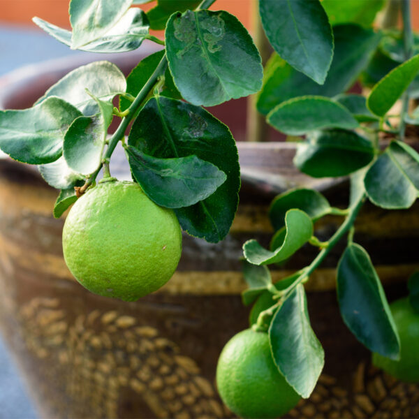Key Lime Tree 07