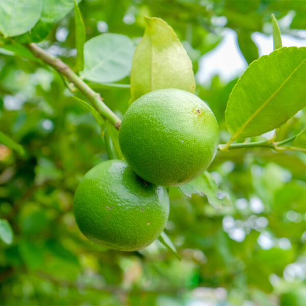 Key Lime Tree 08