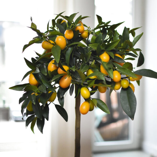 Meiwa Kumquat Tree 05