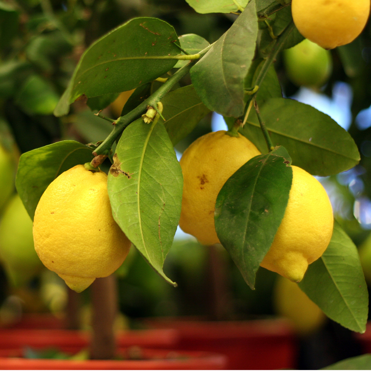 Improved_Meyer_Lemon_Tree_Drop_Shipper_Four_Winds_Size_1_Gallon_Age_1_Year