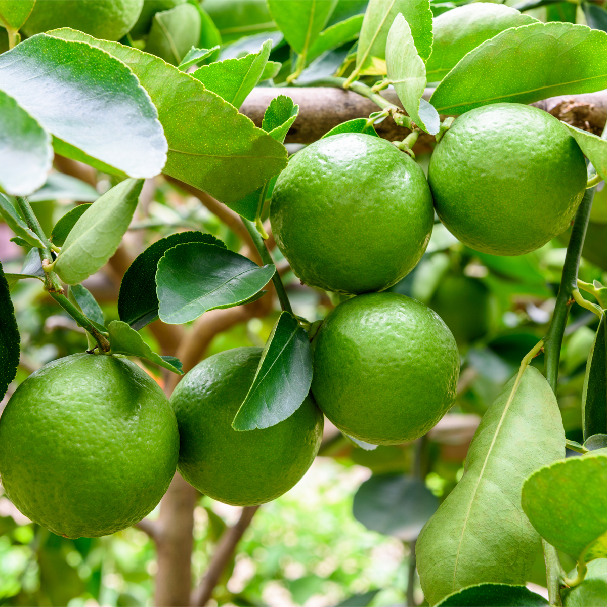 Persian_Bearss_Lime_Tree_Drop_Shipper_Four_Winds_Size_1_Gallon_Age_1_Year
