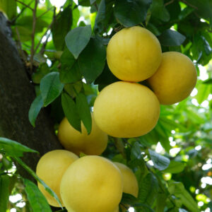 Rio Red Grapefruit Tree 01