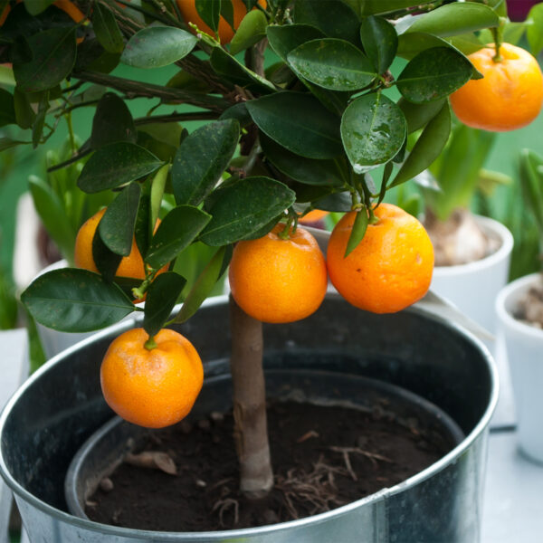 Washington Navel Orange Tree 01