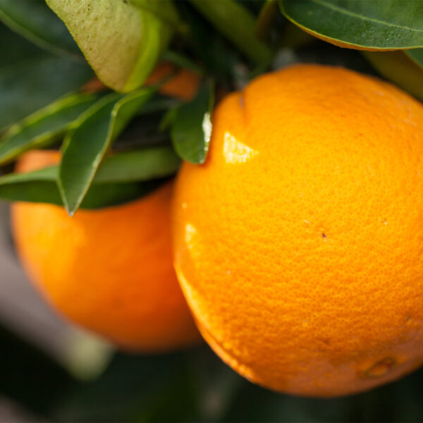Washington Navel Orange Tree 02