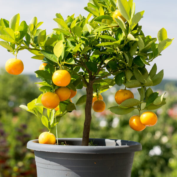 Washington Navel Orange Tree 05