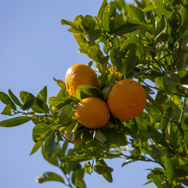 Washington Navel Orange Tree 06