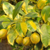 pink variegated eureka lemon tree 3