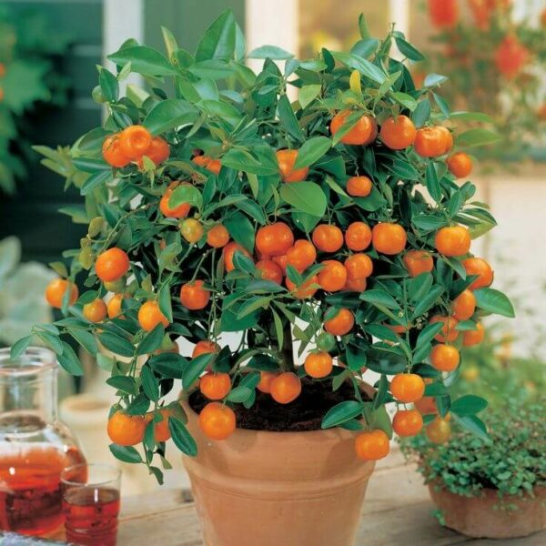sunburst tangerine tree 3