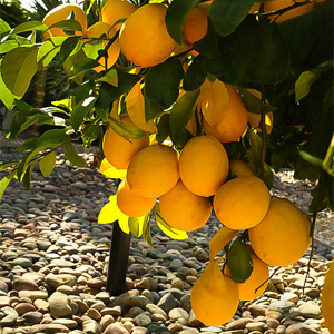 Bearss Lemon Tree 2