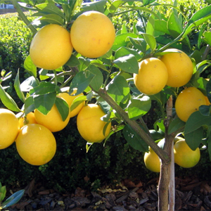 Bearss Lemon Tree