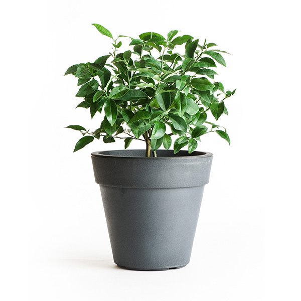 Cocktail Tree - (2 in 1 Meyer Lemon / Key Lime Tree) (Age: 1 Year, Height: 12 - 16 IN, Ship Method: Delivery)