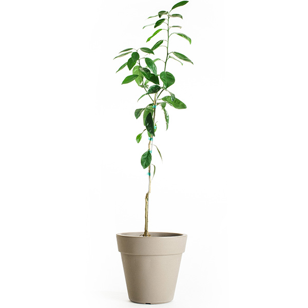 Dwarf Brown Select Satsuma Tree (Age: 2 - 3 Years, Height: 2 - 3 FT, Ship Method: Delivery)