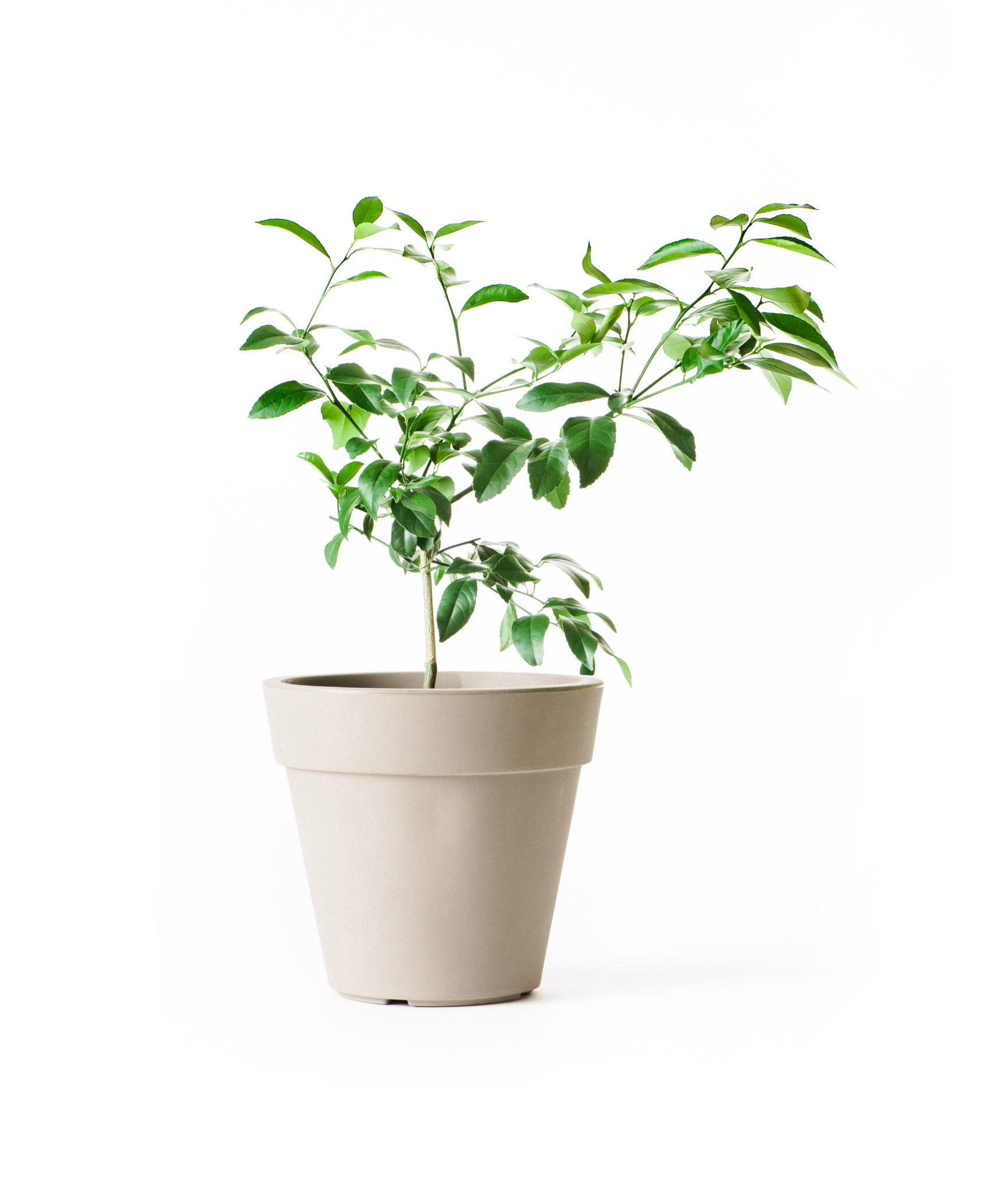 Dwarf Meyer Lemon Tree For Sale Online Citrus Com