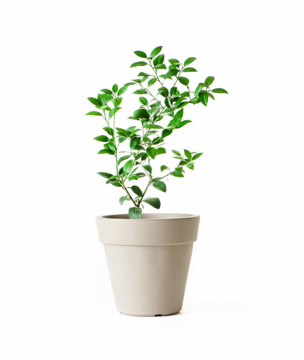 Dwarf Key Lime Tree