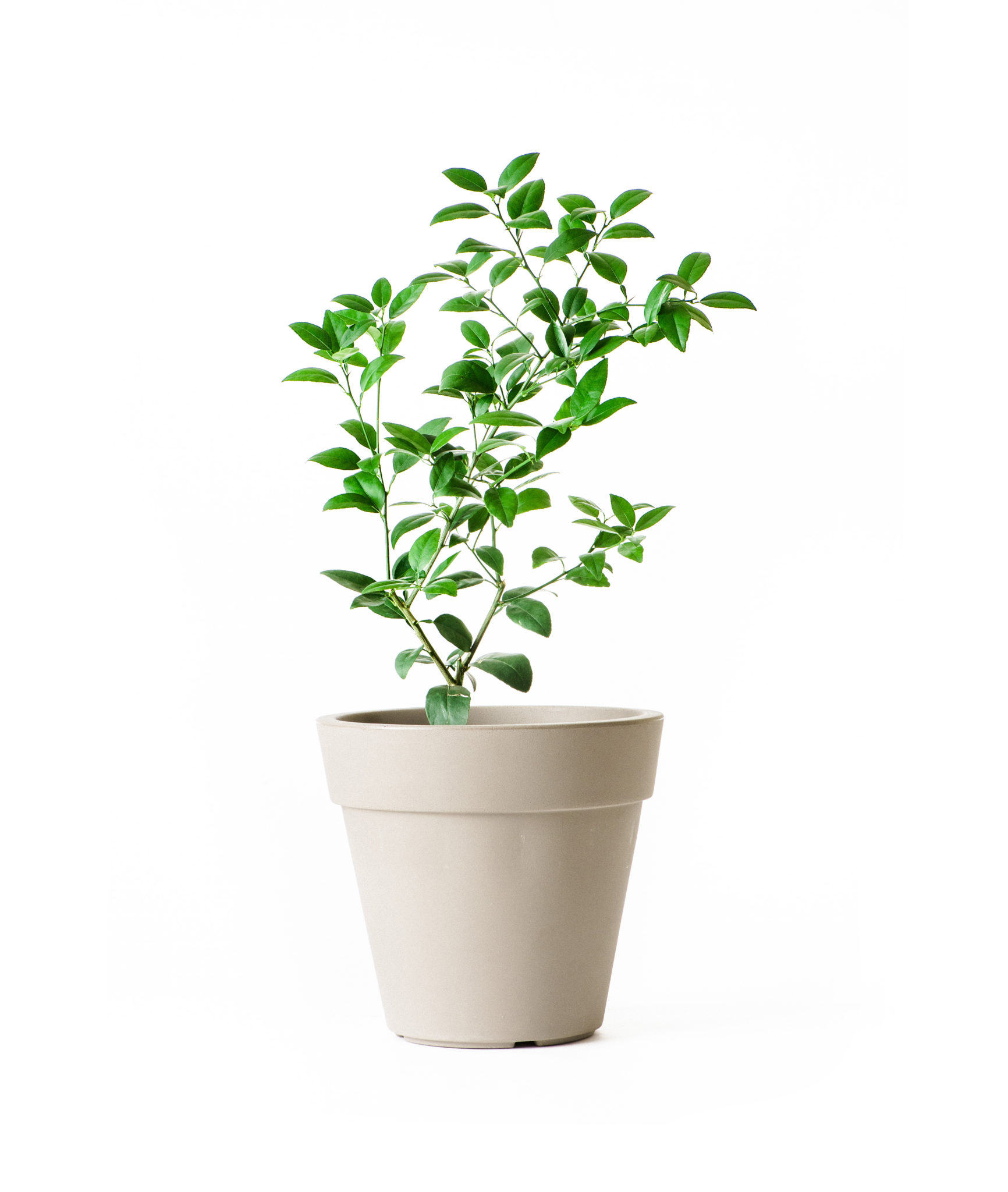 Dwarf Key Lime Tree (Age: 4 - 5 Years, Height: 3 - 4 FT)