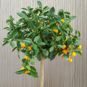Dwarf-Meiwa-Kumquat-Tree09