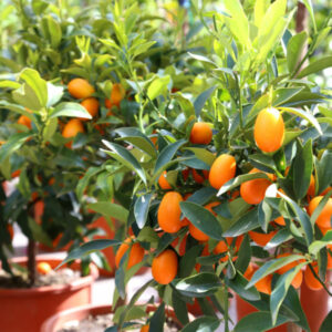 Dwarf-Nagami-Kumquat-Tree02