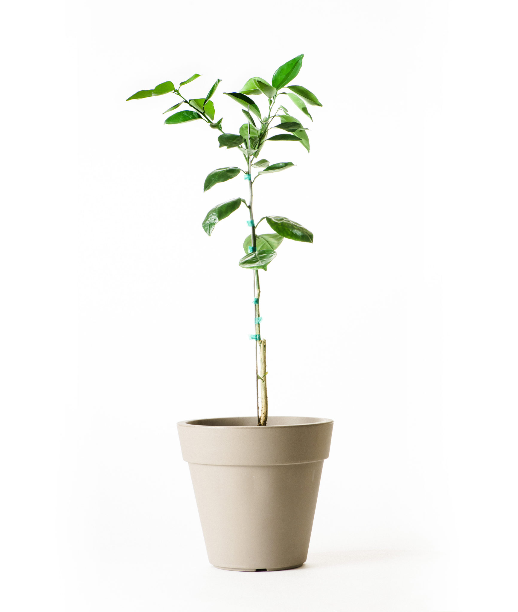 Dwarf Washington Navel Orange Tree (Age: 2 - 3 Years, Height: 2 - 3 FT)