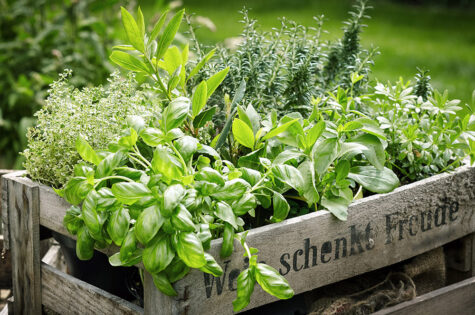 Four-Edible-Plants-For-Home-Growing