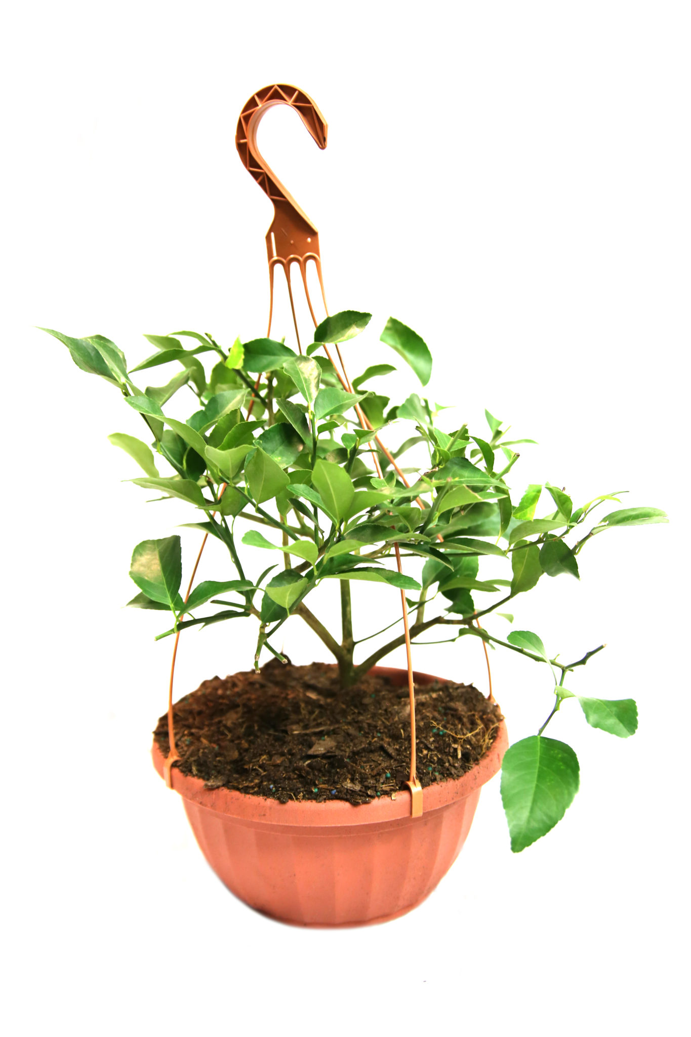 Dwarf Meyer Lemon Tree Hanging Basket (Age: 1 Year, Height: 18 - 26 IN, Size: 3 Gallon)