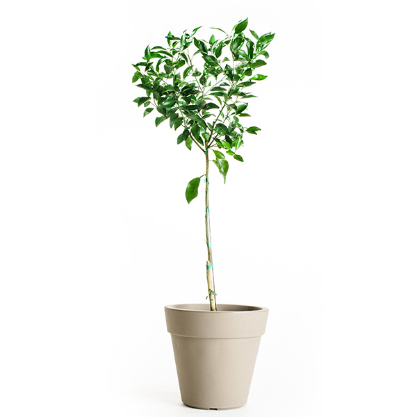 Nules Clementine Tree (Age: 4 - 5 Years)