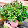 Okinawan-Spinach-plant-2