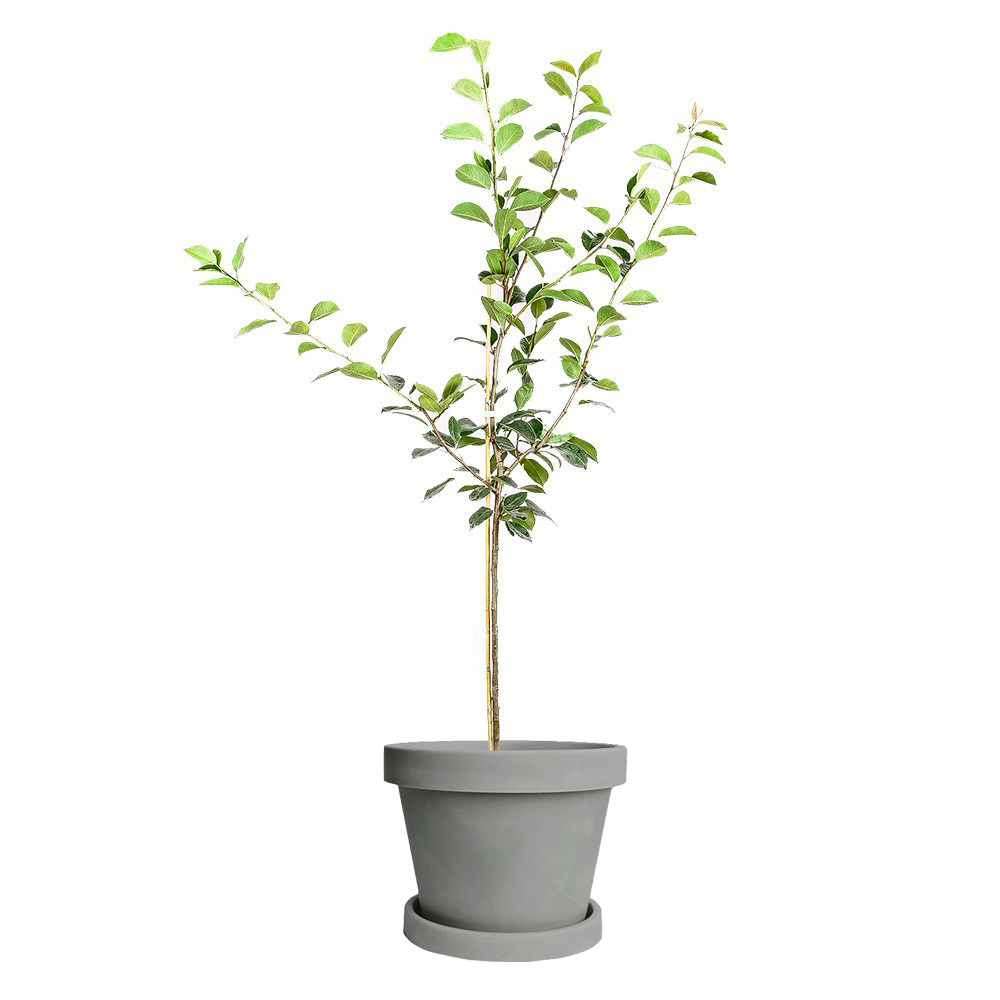 Orient Pear Tree (Height: 5 - 6 FT)