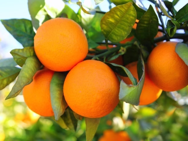 Can Orange Trees survive winter? - Citrus.com