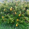 buddahs hand citron tree for sale 2