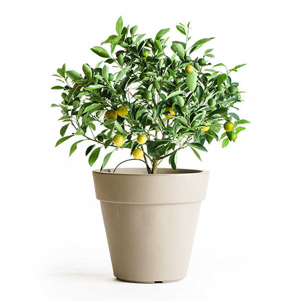 Calamondin (Calamansi) Tree (Age: 4 to 6 Months, Height: 10 - 18 IN, Ship Method: Delivery)
