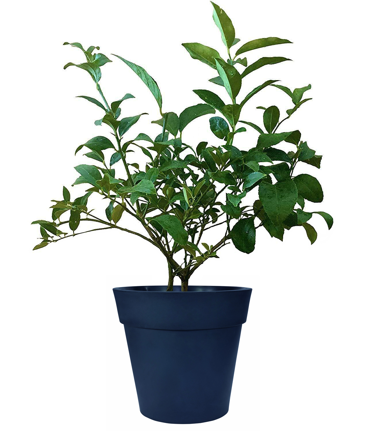 Cocktail Tree - (2 in 1 Meyer Lemon / Persian Lime Tree) (Age: 1 Year, Height: 12 - 16 IN, Ship Method: Delivery)