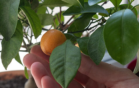 A,Woman's,Hand,Holds,A,Decorative,Small,Citrus,Tree,In