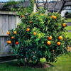 glen-navel orange tree 2