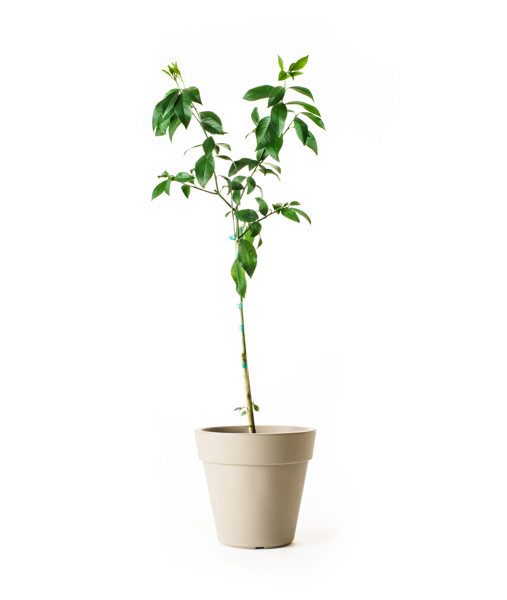 Improved Meyer Lemon Tree (Age: 1 Year, Height: 2 - 3 FT, Ship Method: Delivery)