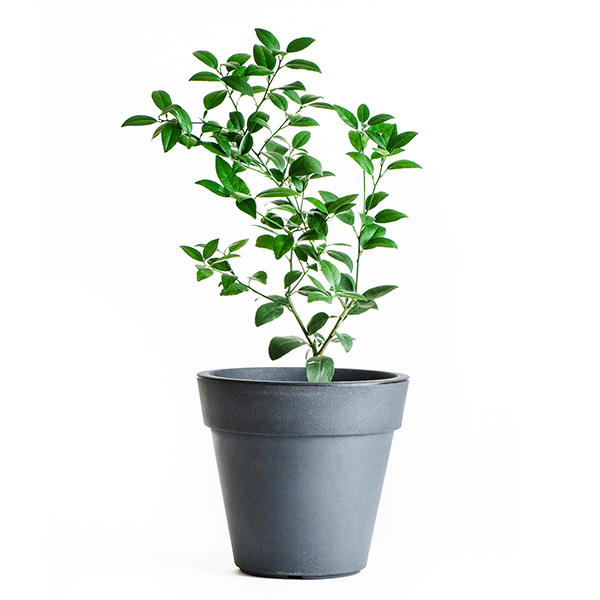 Limequat Tree (Age: 1 Year, Height: 18 - 26 IN)