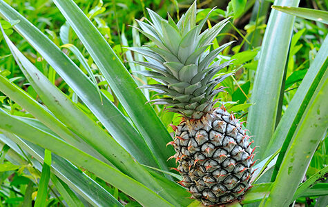 Pineapple,Tropical,Fruit,,Planting,To,Increase,Productivity,In,The,Rubber
