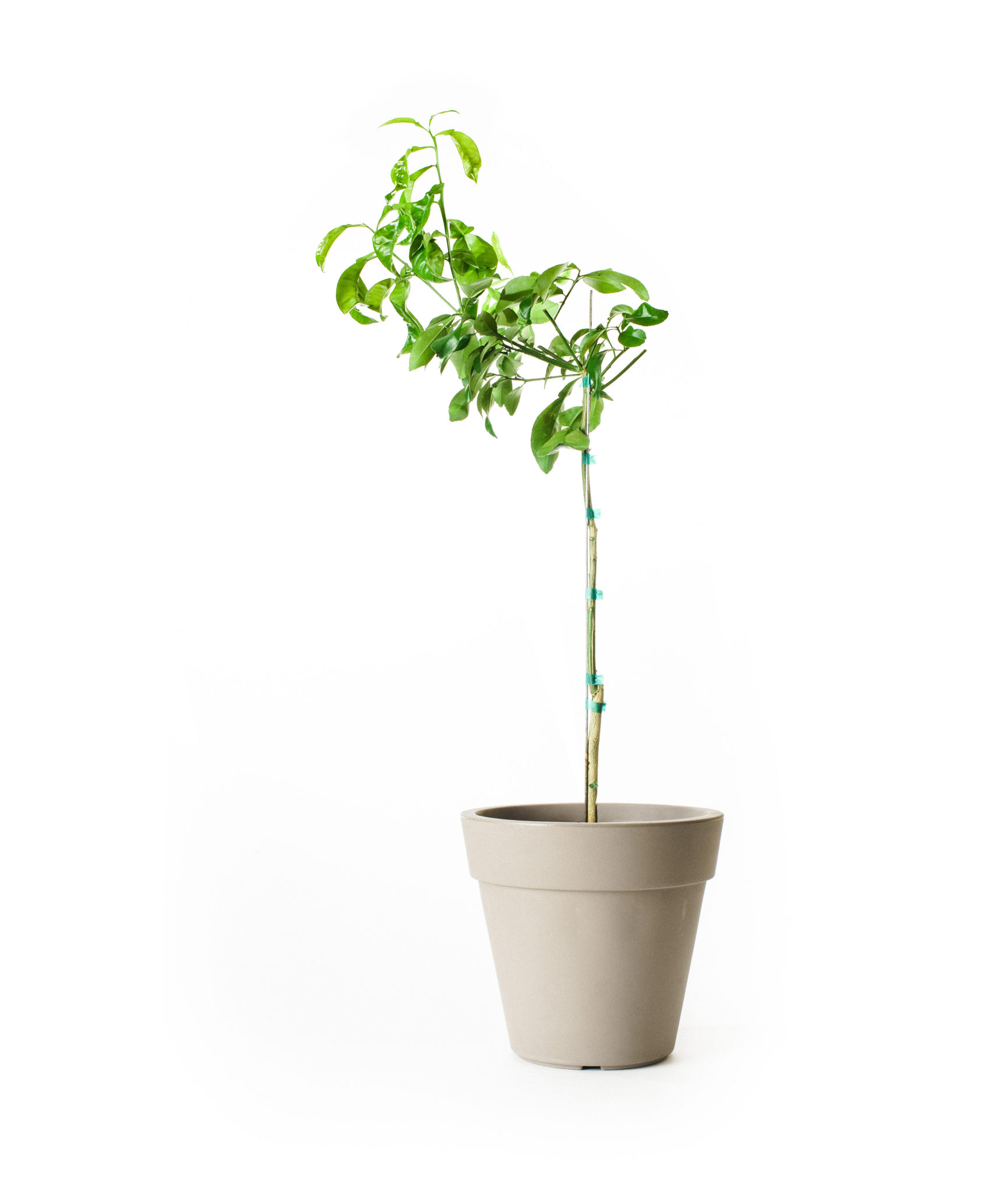 Ruby Red Grapefruit Tree (Age: 1 Year, Height: 18 - 26 IN)