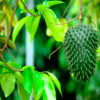 soursop guanabana tree 2